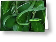 Green Vine Snake Oxybelis Fulgidus Greeting Card