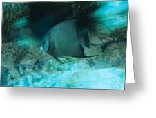 Grey Angelfish Greeting Card