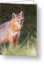Grey Fox - Vantage Point Greeting Card