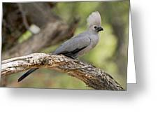 Grey Lourie Greeting Card