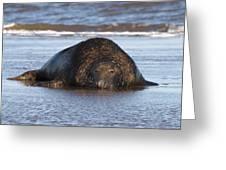 Grey Seal Bull Greeting Card
