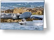Grey Seals Greeting Card