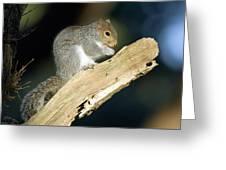 Grey Squirrel Feeding Greeting Card by Duncan Shaw