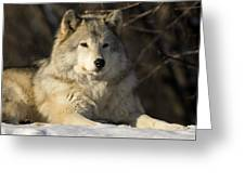 Grey Wolf Canis Lupus In Ecomuseum Zoo Greeting Card