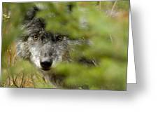 Grey Wolf, Outside Golden, British Greeting Card