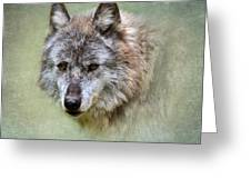 Grey Wolf Portrait Greeting Card