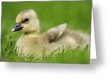 Greylag Goose Gosling Greeting Card