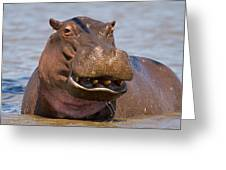 Grinning Hippo Greeting Card