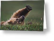 Grizzly Bear Ursus Arctos Stretching Greeting Card