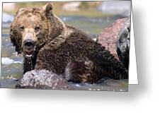 Grizzly Cavorts In Stream Greeting Card