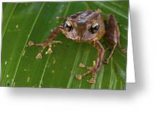 Ground Frog Nakanai Mts Papua New Guinea Greeting Card by Piotr Naskrecki