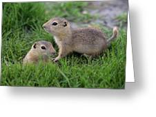 Ground Squirrels, Oak Hammock Marsh Greeting Card