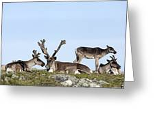 Group Of Caribou Resting On Alpine Greeting Card