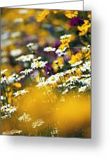 Group Of Daisies Greeting Card