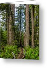 Group Of Redwoods Greeting Card