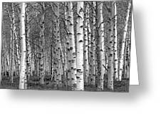Grove Of Birch Trees Greeting Card