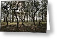 Grove Of Trees In The Ocala National Greeting Card
