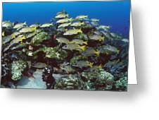 Grunt School Along Coral Reef Cocos Greeting Card by Flip Nicklin