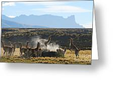 Guanacos In Action Greeting Card by Camilla Brattemark