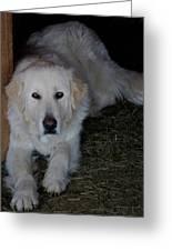 Guarding The Barn Greeting Card