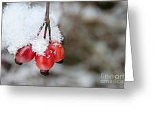 Guelder Rose In The Snow Greeting Card
