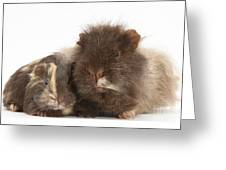 Guinea Pig And Baby Greeting Card