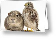 Guinea Pig And Kestrel Chick Greeting Card