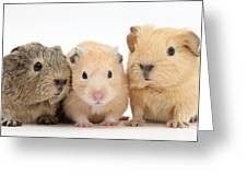 Guinea Pigs And Hamster Greeting Card