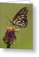 Gulf Fritillary Butterfly - Agraulis Vanillae Greeting Card