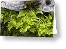 Gymnocarpium Robertianum Greeting Card