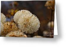 Hairy Aster Greeting Card