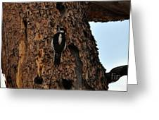 Hairy Woodpecker On Pine Tree Greeting Card