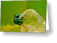 Halicid Wasp 1 Greeting Card