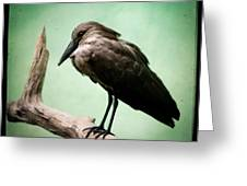 Hamerkop Greeting Card