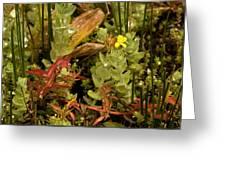 Hampshire Purslane (ludwigia Palustris) Greeting Card by Bob Gibbons