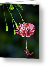 Hanging Coral Hibiscus Greeting Card