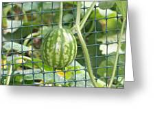 Hanging Watermelon Plant Greeting Card by Barbara S Nickerson