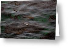 Harbor Seal In Kelp Bed Greeting Card