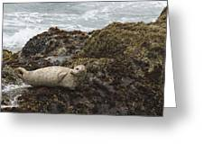 Harbor Seal  Point Lobos State Reserve Greeting Card by Sebastian Kennerknecht