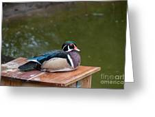 Harlequin Duck Greeting Card