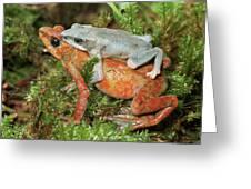 Harlequin Frog Atelopus Varius Pair Greeting Card