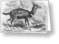 Harnessed Antelope Greeting Card