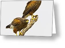 Harris' Hawk Pair Greeting Card