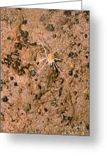 Harvestman Crosbyella Sp. In Cave Greeting Card