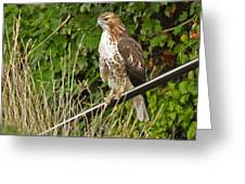 Hawk At A Wedding Greeting Card