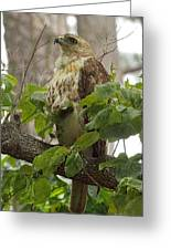 Hawk On Watch Greeting Card