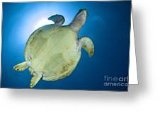 Hawksbill Sea Turtle Belly, Australia Greeting Card