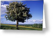 Hawthorn Tree On A Landscape, Ireland Greeting Card