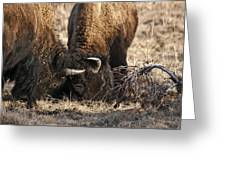 Head Butting Bison Greeting Card