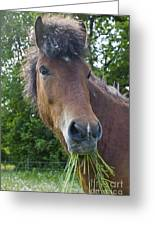 Head Of Bay Icelandic Horse Greeting Card